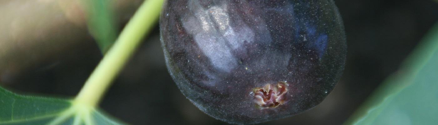 Ronde de Bordeaux Fig